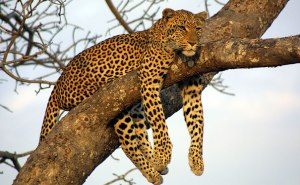 A leopard with unchanged spots.